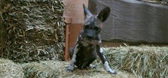 Перший і єдиний випадок народження гієновидних собак в Україні!