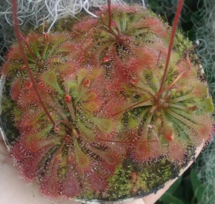 Виставка африканських фіалок і рідкісних екзотичних рослин
